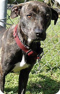 Pit Bull Terrier Mix Dog for adoption in Brooksville, Florida - 1022385 Gidget