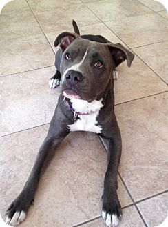 Pit Bull Terrier/Labrador Retriever Mix Puppy for adoption in Los Angeles, California - Blue Belle
