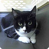 Domestic Shorthair Cat for adoption in New York, New York - Downy