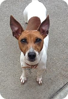 Jack Russell Terrier Mix Dog for adoption in Freeport, New York - Bella