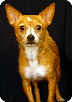 Chihuahua/Terrier (Unknown Type, Medium) Mix Dog for adoption in Newland, North Carolina - Lucy