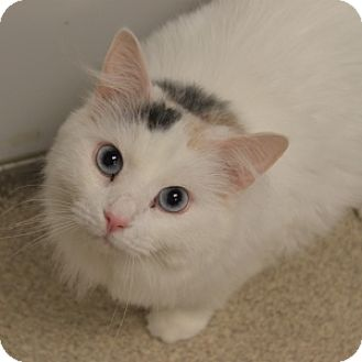 Domestic Longhair Cat for adoption in Naperville, Illinois - Snowflake