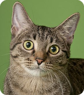 Domestic Shorthair Cat for adoption in Chicago, Illinois - Trixie