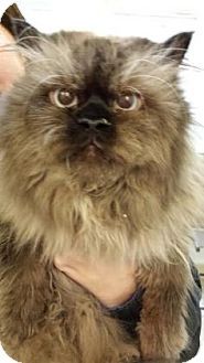 Himalayan Cat for adoption in Reisterstown, Maryland - Gizmo