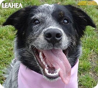 Anatolian Shepherd Mix Dog for adoption in Lapeer, Michigan - LEAHEA--AUSSIE MIX!