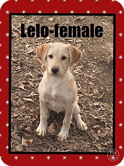 Labrador Retriever Mix Puppy for adoption in Hagerstown, Maryland - Lelo (Pom)