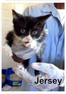 Domestic Shorthair Kitten for adoption in Dillon, South Carolina - Jersey
