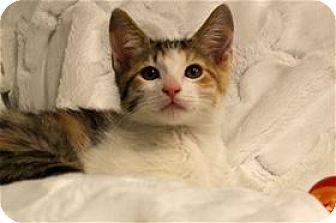 Calico Kitten for adoption in Lincoln, California - Calista