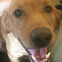 Labrador Retriever Mix Dog for adoption in Minnetonka, Minnesota - Yogi
