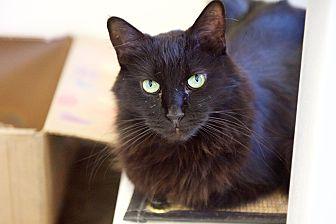 Domestic Mediumhair Cat for adoption in North Hollywood, California - Art