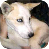 """Husky Mix Puppy for adoption in Various Locations, Indiana - """"Pixie is Urgent"""""""