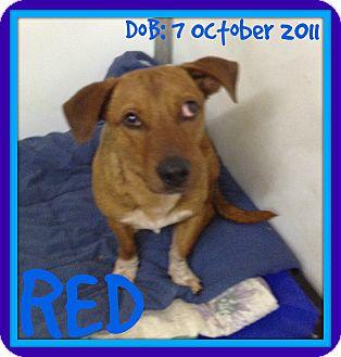 Dachshund Dog for adoption in Halifax, Nova Scotia - RED