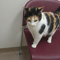 Domestic Shorthair Cat for adoption in Muscatine, Iowa - Sophia