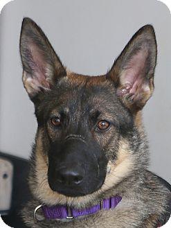 German Shepherd Dog Puppy for adoption in Berkeley, California - Shilah