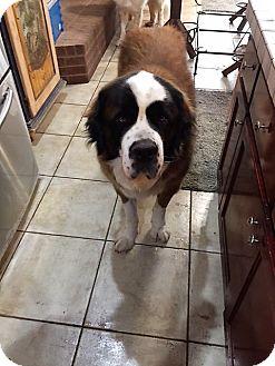 St. Bernard Dog for adoption in McKinney, Texas - Dalton