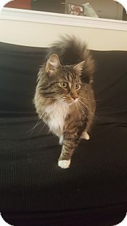 Maine Coon Cat for adoption in Durham, North Carolina - Murdoch And Elektra