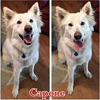 Adopt A Pet :: Capone - Longview, TX