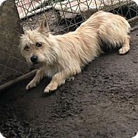 Westie, West Highland White Terrier Mix Dog for adoption in Danbury, Connecticut - Jackson