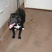 Adopt A Pet :: SUMMER - Aurora, IL