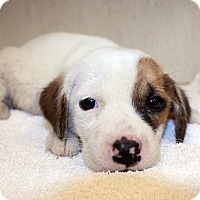 Terrier (Unknown Type, Small) Mix Puppy for adoption in Lumberton, North Carolina - Mary Ann