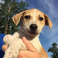 Hound (Unknown Type) Mix Puppy for adoption in New York, New York - Simba
