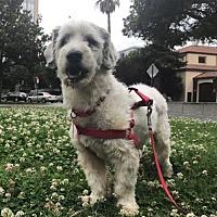 Adopt A Pet :: Tommy - San Jose, CA
