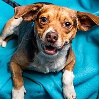 Adopt A Pet :: Arnie - Minneapolis, MN