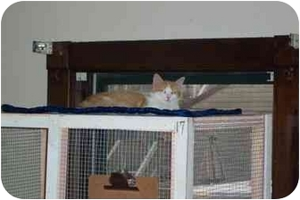 Domestic Longhair Kitten for adoption in Jeffersonville, Indiana - Sandy