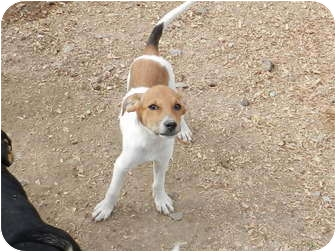 Beagle/Shepherd (Unknown Type) Mix Puppy for adoption in Lawrenceburg, Tennessee - Marcus