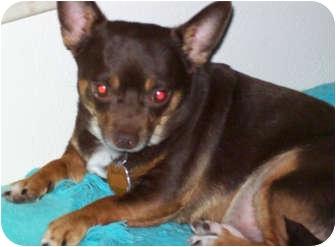 Chihuahua Dog for adoption in Austin, Texas - Barkley