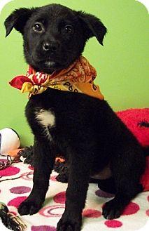 Labrador Retriever/German Shepherd Dog Mix Puppy for adoption in Struthers, Ohio - Monday