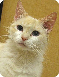 Siamese Cat for adoption in Tulsa, Oklahoma - Creamsicle
