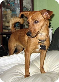 Rat Terrier/Dachshund Mix Dog for adoption in Jemez Springs, New Mexico - Libby