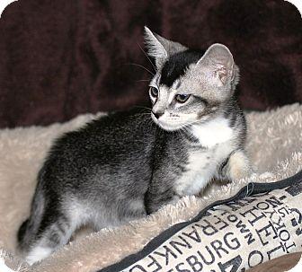 Abyssinian Kitten for adoption in El Dorado Hills, California - ZULA