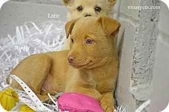 Terrier (Unknown Type, Small)/Corgi Mix Puppy for adoption in Danielsville, Georgia - Mocha
