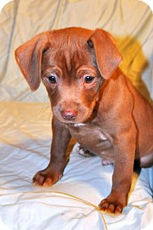Labrador Retriever/Pit Bull Terrier Mix Puppy for adoption in East Hartford, Connecticut - Charlie-pending adoption
