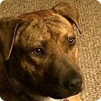 Adopt A Pet :: Trixie - Fenton, MI