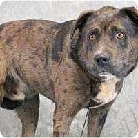 Adopt A Pet :: Good Boy Leo--dark blue merle - Baltimore, MD