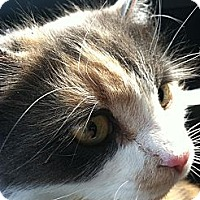 Adopt A Pet :: Ginger - Columbia, MD