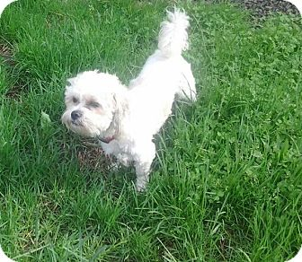 Shih Tzu/Poodle (Miniature) Mix Dog for adoption in Detroit, Michigan - Marty