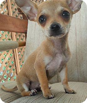 Chihuahua Mix Puppy for adoption in Santa Ana, California - Jackson (Teacup Chihuahua)