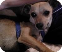 Chihuahua Mix Dog for adoption in Irmo, South Carolina - Sweetie