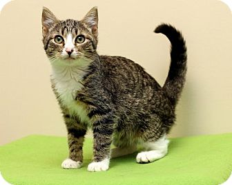 Domestic Shorthair Cat for adoption in Bellingham, Washington - Tabitha