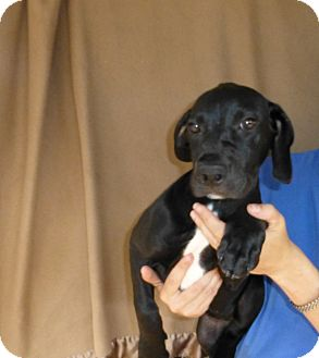 Great Dane/Labrador Retriever Mix Puppy for adoption in Oviedo, Florida - Daisey