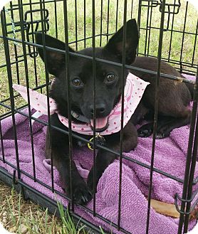 Chihuahua/Cattle Dog Mix Dog for adoption in Frisco, Texas - Brook