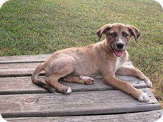 Labrador Retriever/Catahoula Leopard Dog Mix Puppy for adoption in Seahurst, Washington - Bud