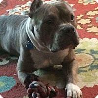 Adopt A Pet :: Handsome Hank - Dayton, OH