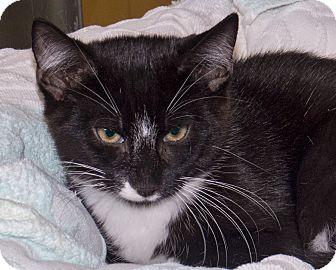 Domestic Shorthair Kitten for adoption in Elmwood Park, New Jersey - Harvey