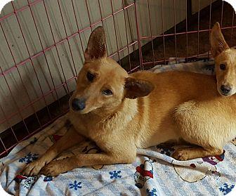 Shepherd (Unknown Type)/Labrador Retriever Mix Dog for adoption in Rockford, Illinois - Karley