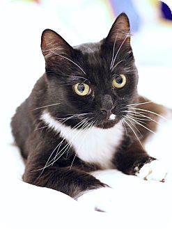 Domestic Shorthair Cat for adoption in Hesperia, California - Gallo